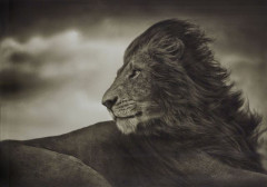 Nick BRANDT (Né en 1966) LION BEFORE STORM – CLOSE-UP, MAASAI MARA – 2006 Tirage pigmentaire