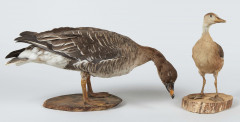 DENDROCYGNE, OIE DES MOISSONS III/C, Dendrocygna bicolor, Anser fabalis.