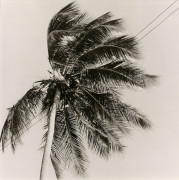 Robert MAPPLETHORPE 1946-1989 Palm Tree à Puerto Rico - 1981 Tirage argentique