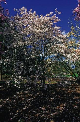 Rare Trees Sale N 1867 Lot N 55 Artcurial